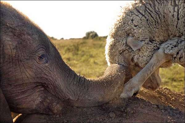 cute elephant and sheep