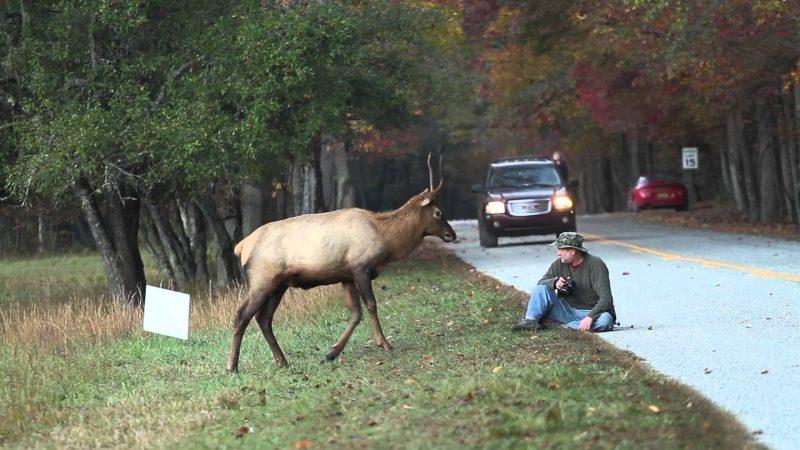 Elk attacks photographer
