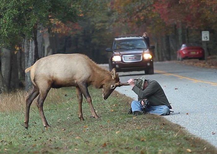 The Elk Attacks